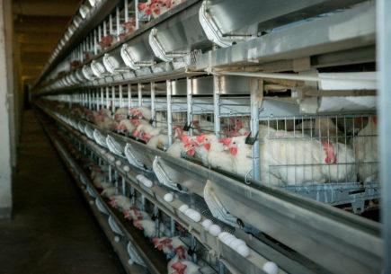 Повышение эффективности процесса убоя птицы и производства мяса кур